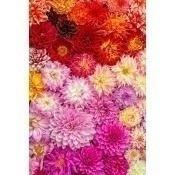 Panneau Summery Dahlia Bouquet Fuschia Curious Collections